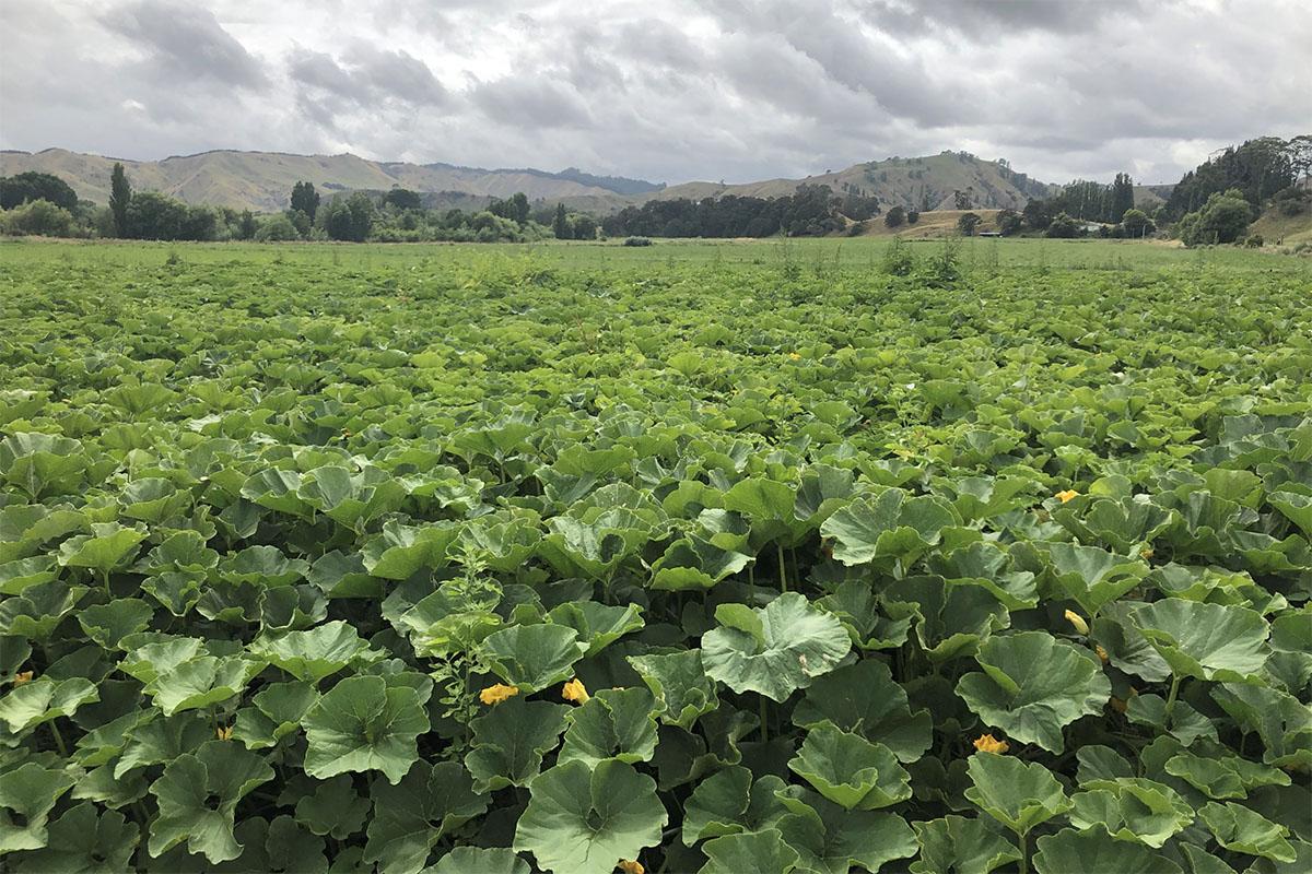 ニュージーランドかぼちゃ酵素による土づくり