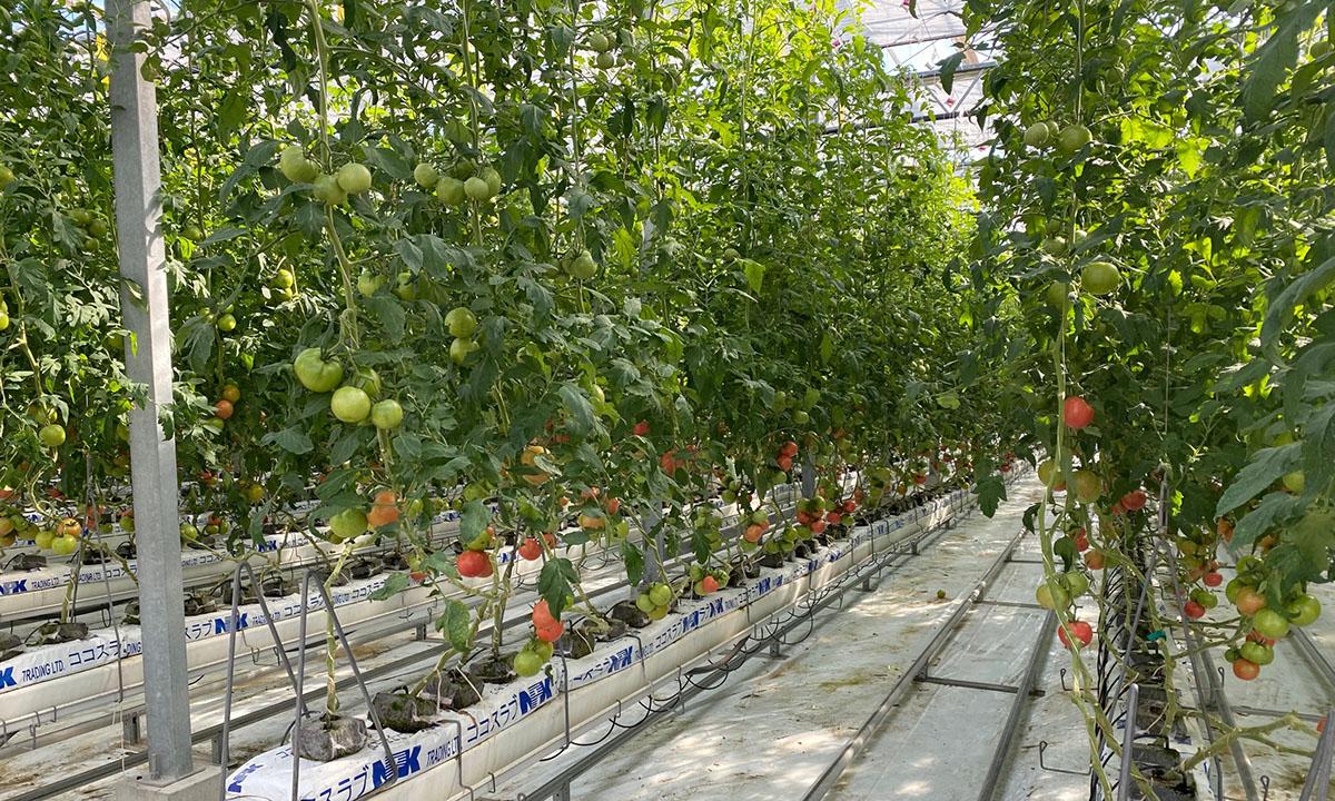 国産トマト(大分)